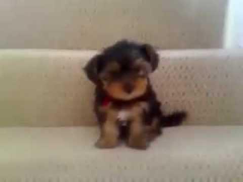 Bu minik köpeğe merdiven uçurum gibi görünüyor
