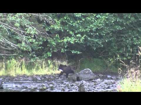 Bear catches salmon