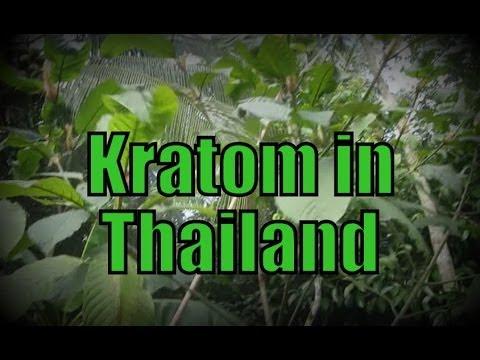 KRATOM IN THAILAND - Kratom growing and eating in Southern Thailand - Mitragyna speciosa กระท่อม