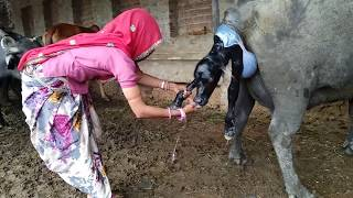 Super Murrah bhains or intelligent women help by bhains delivery