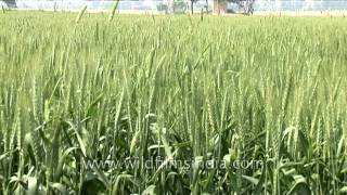 Lush green rice paddy fields in Uttar Pradesh