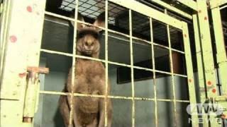 28日夜、滋賀県の移動動物園からカンガルー1頭が逃げ出しました。約5時...