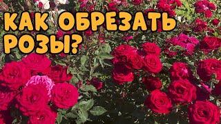 СРОЧНО ОБРЕЗАЕМ РОЗЫ! Как и когда обрезать розы летом?
