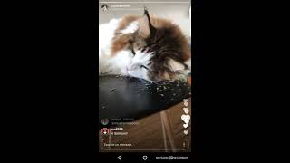 Catstradamus (Samson), the largest Maine Coon cat in NYC - On catnip (Instagram streaming 06-18-17)
