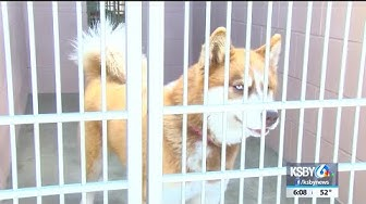 Local animal shelter reports increase in husky dogs