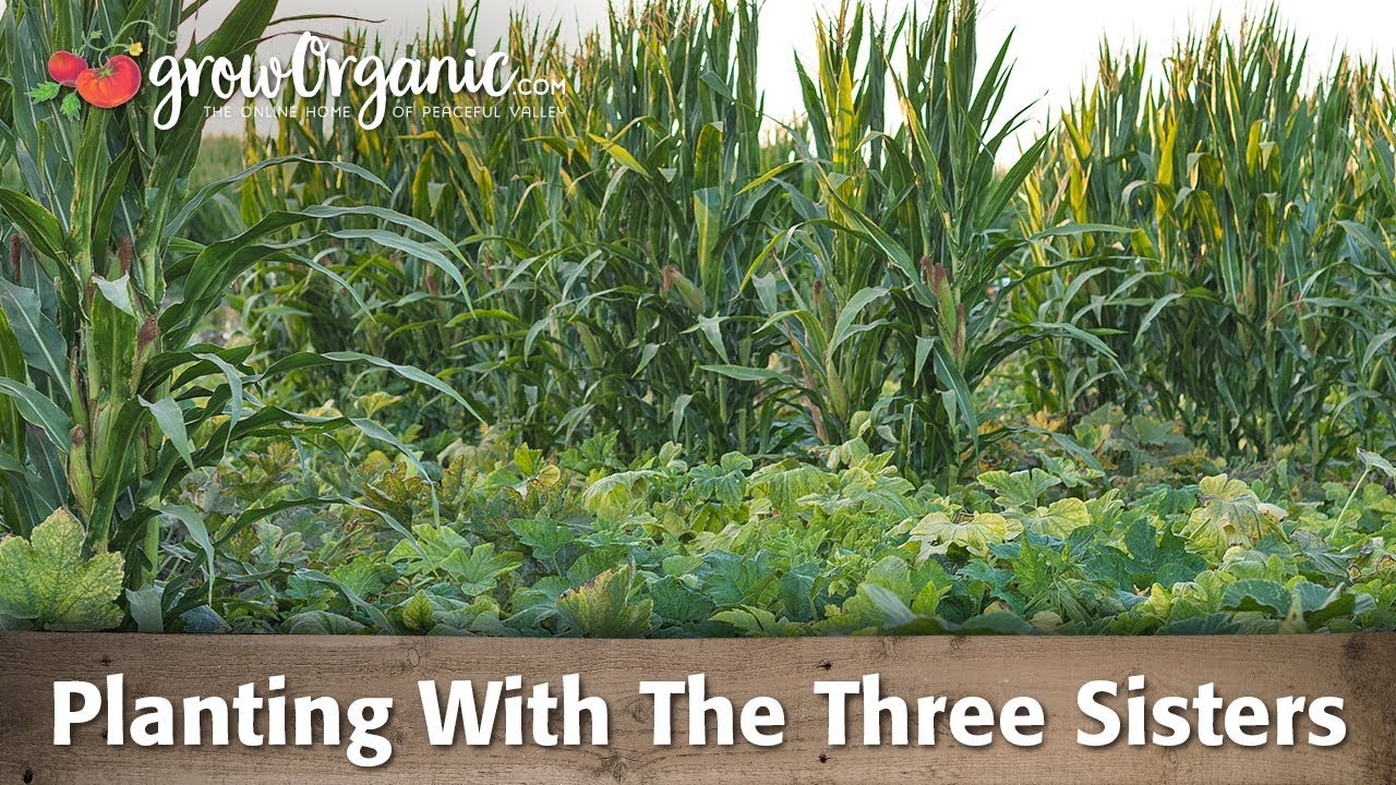 Planting Corn Squash And Beans Using The Three Sisters Method