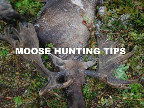MOOSE HUNTING TIPS