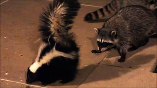 Skunk vs raccoons / Скунс против енотов