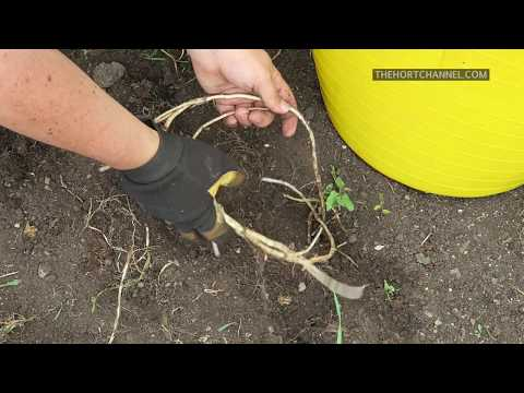 Gardening channel: How to Remove Bindweed