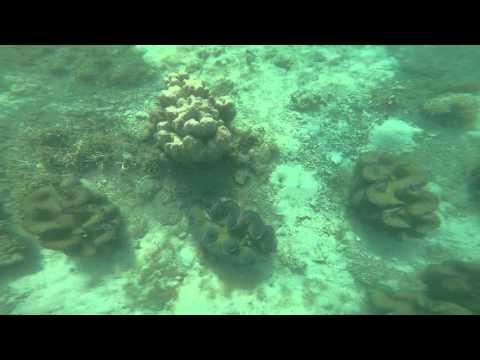 Giant clams in Pearl farm