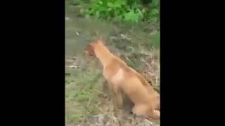 Bức xúc _ Video 2 : Chó Mẹ Bị Liệt 2 Chân Vẫn Kiếm Thức Ăn Về Nuôi Con