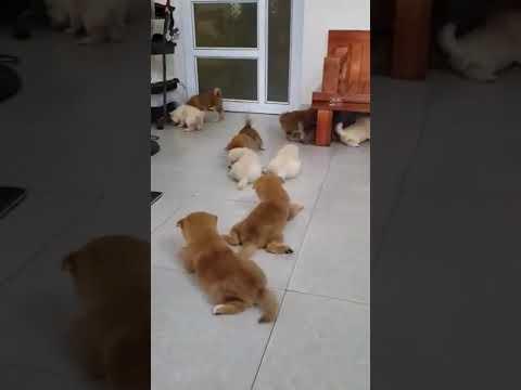 Bán đàn chó Shiba Inu con bố mẹ nhập khẩu Liên bang Nga 1,5 tháng tuổi tại Trang trại Dogily Kennel