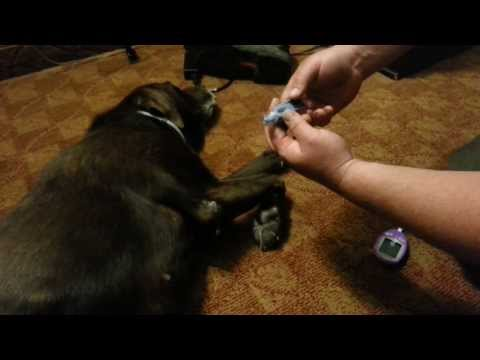 How to test your dogs blood glucose level