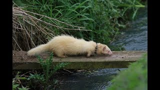 Ferreting & catching rabbits in the UK. 108 in under 8 minutes...