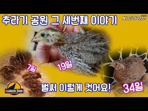 마트에서 부화한 메추리 성장 영상 3편! - 엄�