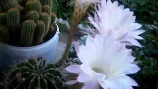 Цветы кактуса. Как цветет кактус.