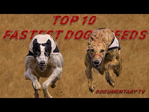 TOP TEN FASTEST DOG BREEDS