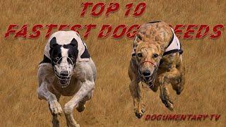 TOP TEN FASTEST DOG BREEDS