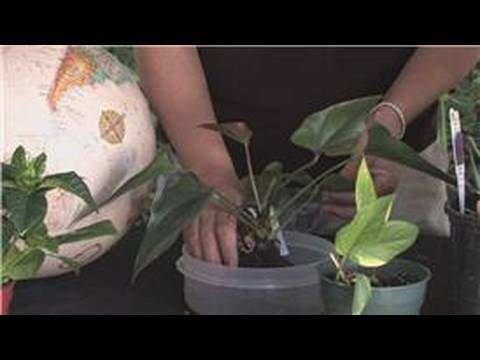 Flower Gardening How To Grow Anthuriums Youtube