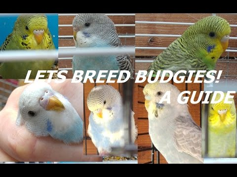 A Guide - How To Breed Budgies in an Aviary!