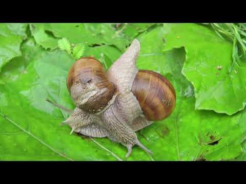 #Животные. Брюхоногие #моллюски. Как выглядят виноградные #улитки (хеликсы)