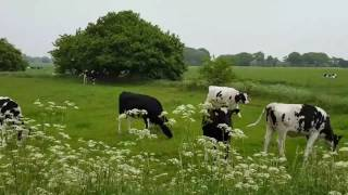 Holstein cattle on pastures. Sunrise on the farm.