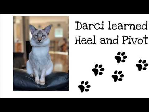 Balinese Cat Darci's Tricks -  Heel, Pivot, Spin