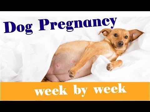 Dog 5 weeks pregnant - YouTube