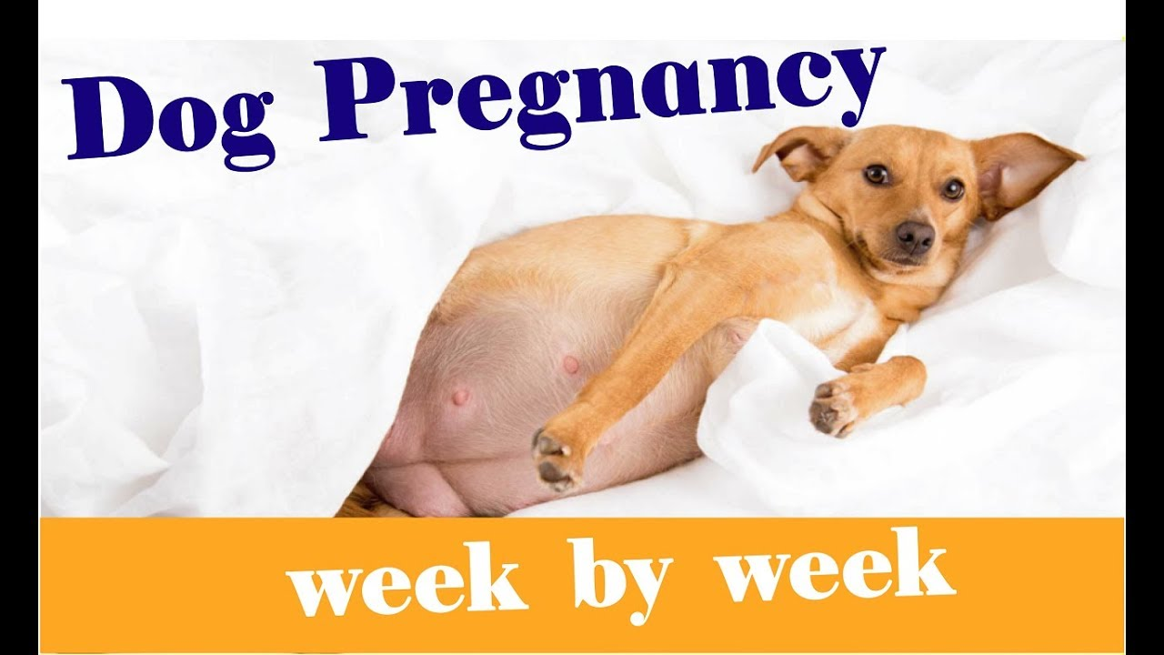 French Bulldog Pregnancy Stages What To Expect Along The Way Anything French Bulldog