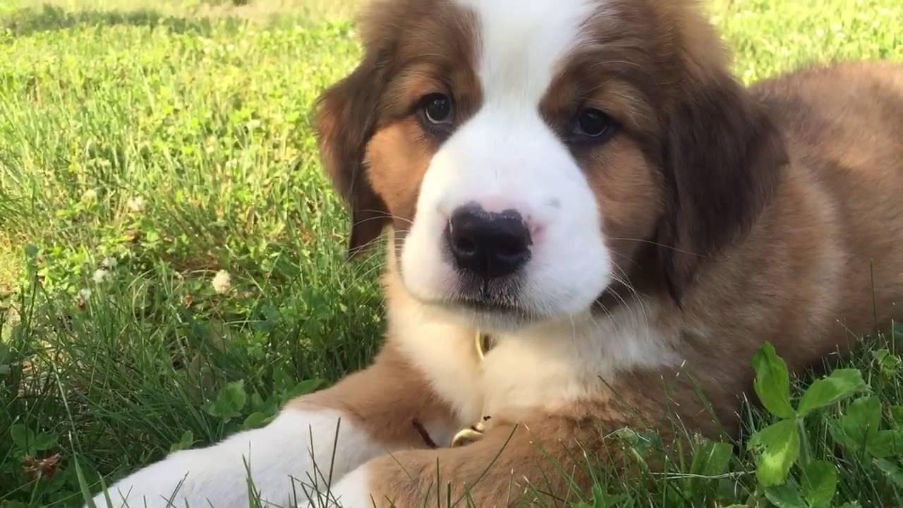 St Bernese Puppy Chews A Stick