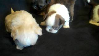 Twilight's Carri X Bentley Litter, Imperial Shih Tzu Puppies For Sale