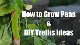 How To Plant and Grow Peas and Easy DIY Trellis ideas