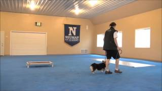 Lila (welsh Corgi) Trained Dog Video