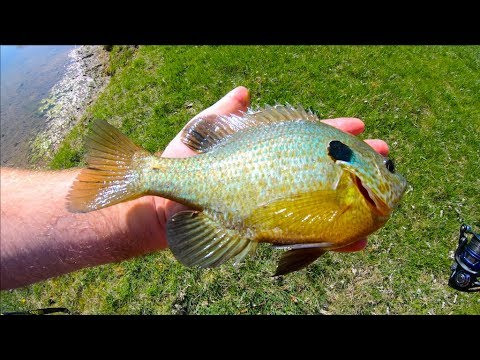 MONSTER Indiana Bluegill Fishing - Crappie Nibbles!!!