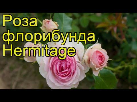 Роза флорибунда Эрмитаж (Hermitage). Краткий обзор, описание характеристик, где купить саженцы