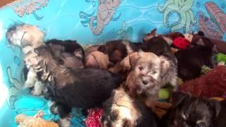 Mini Schnauzer Puppies For Sale In Central Pa