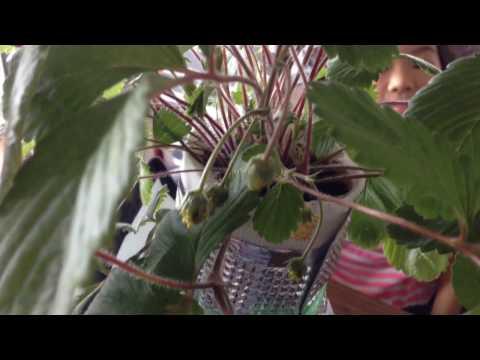 Heirloom Pineapple Strawberries - amazing yellow strawberries grown at home in Singapore!