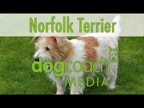 Hunderasse Lexikon: Norfolk Terrier