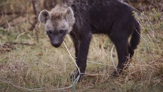 Young Hyena Breaks Camera | Waterhole: Africa's Animal Oasis | BBC Earth