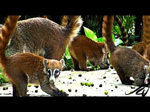 coati mundi - tropical raccoon - youtube