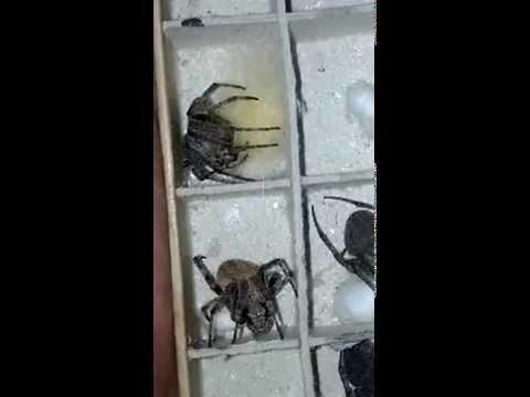 Orb-Weaver Spider (Araneus) Collection