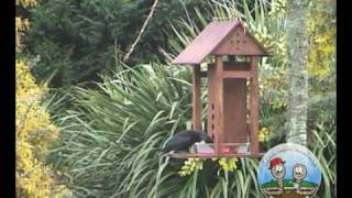 Tui Visiting Bird Feeder
