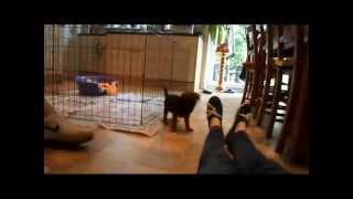Baxter 18 - Eating Slipper (cute Puppy Border Terrier @ 7 Weeks)