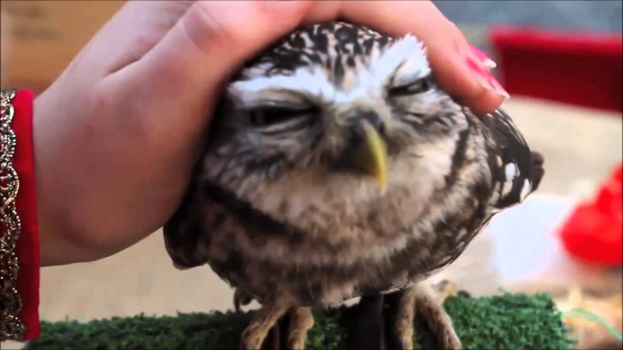 Image of: Funny Owls Youtube Cutest Owl Ever Northern Saw Whet Owl Youtube
