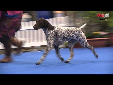 Manchester Championship Dog Show 2016 – Gundog group
