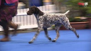 Manchester Championship Dog Show 2016 - Gundog group