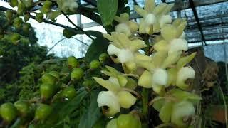 Cây quế lan hương hoa cực khủng