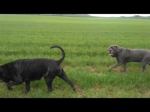 Neapolitan Mastiffs Power Walking