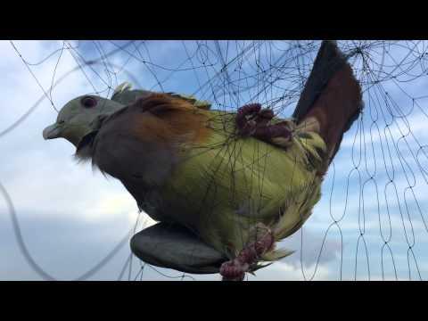 lưới  bẩy chim cu xanh