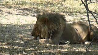 Voyage Botswana : Lion qui fait sa toilette | Meltour